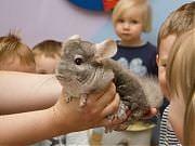 Mali odkrywcy zwierząt. Wizyta szynszyli. Fot. Anita KotMali odkrywcy zwierząt. Wizyta szynszyli. Fot. Anita Kot