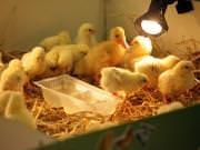26 III 2014 r. - Zajęcia warsztatowye - Wielkanocne cudne pisklaki-kaczuszki i kurczaki - fotorelacja , img_1289