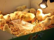 26 III 2014 r. - Zajęcia warsztatowye - Wielkanocne cudne pisklaki-kaczuszki i kurczaki - fotorelacja , img_1291