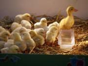 26 III 2014 r. - Zajęcia warsztatowye - Wielkanocne cudne pisklaki-kaczuszki i kurczaki - fotorelacja , img_1383