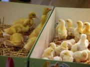 26 III 2014 r. - Zajęcia warsztatowye - Wielkanocne cudne pisklaki-kaczuszki i kurczaki - fotorelacja , img_1390